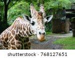 close up of a giraffe in front... | Shutterstock . vector #768127651