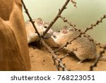 Small photo of two african spiny mice (acomys) in the terrarium are communicating and gnawing buds of shrub twigs