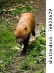 Bush Dog Sheltering From The...