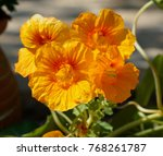 Orange Capuchin Edible Flowers...