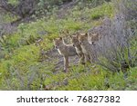 Four Coyote Pups Waiting For...