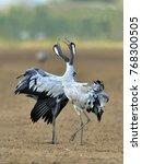 cranes dancing in the field.... | Shutterstock . vector #768300505