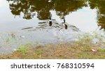 ducks on walk floating in the...   Shutterstock . vector #768310594