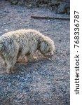 shaggy dog cute dog pet    Shutterstock . vector #768336787