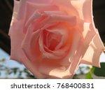 Royal Highness Hybrid Tea Rose...