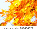 beautiful red maple leaves in... | Shutterstock . vector #768434029