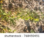 Small photo of Alkali seepweed or shrubby sea-blite, Suaeda vera, growing in Galicia, Spain