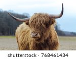 Scotish Highland Cattle