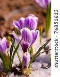 violet crocus grows in the snow | Shutterstock . vector #76851613