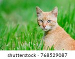 Shorthair Ginger Cat With Blue...