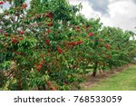 cherry orchard orange n.s.w.... | Shutterstock . vector #768533059