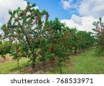 cherries rows orange n.s.w.... | Shutterstock . vector #768533971