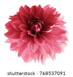 Stock photo red pink dahlia flower isolated on white background with clipping path closeup no shadows 768537091