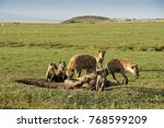 spotted hyenas  adults and... | Shutterstock . vector #768599209