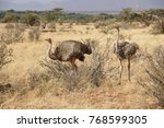 two female somali ostriches... | Shutterstock . vector #768599305
