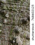 floss silk tree  or called ... | Shutterstock . vector #768602125