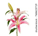 beautiful pink lily flower...   Shutterstock . vector #768623719
