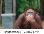 Orangutans Posting Thinking...