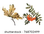 mountain ash and oak  autumn... | Shutterstock . vector #768702499