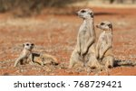 Meerkat Family  Suricata...