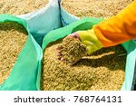 Rice Seeds In Hand On Paddy...
