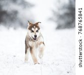 Small photo of Portrait of a beautiful young dog on a snowy field. Alaskan malamute