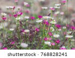 camomile field  many small... | Shutterstock . vector #768828241