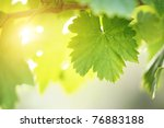 sunny grape leaf on grapevine....   Shutterstock . vector #76883188