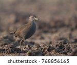 Small photo of Brown crake - Amaurornis akool