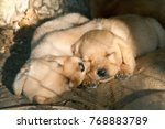 cute little puppies  two lovely ... | Shutterstock . vector #768883789