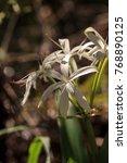 white swamp lily flower crinum...   Shutterstock . vector #768890125