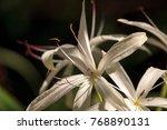 white swamp lily flower crinum...   Shutterstock . vector #768890131