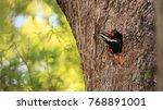 male pileated woodpecker bird...   Shutterstock . vector #768891001