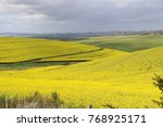 canola fields in bloom | Shutterstock . vector #768925171