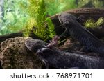 Small photo of Pair of Axolotl relaxing together in the bottom of Xochimilco lake in Mexico City, endangered neotenic salamanders registered in IUCN red list, flagship species of Mexico