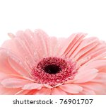 Pink gerbera with water drops. Isolated on white background - stock photo