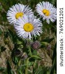 Small photo of Mountain Fleabane - Mountain Wildflower