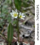 Small photo of Alp Lily - Mountain Wildflower