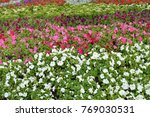 colorful flowerbeds petunia... | Shutterstock . vector #769030531