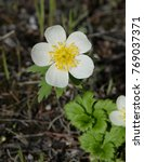 Small photo of American Globeflower - Mountain Wildflower