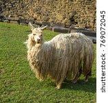 A Llama Feeding On The Grass O...