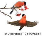 two bullfinch eating red berries | Shutterstock . vector #769096864