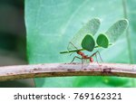 a leafcutter ant carries a... | Shutterstock . vector #769162321