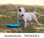 Stock photo six week old bull terrier puppy with a toy in the grass 769163311