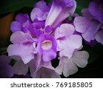 pachyptera hymenaea   hard wood ... | Shutterstock . vector #769185805