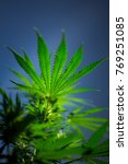 Small photo of medicinal marihuana cannabis