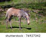 A beautiful photo of a baby zebra - stock photo
