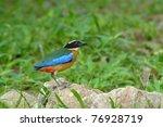 bird   blue winged pitta  | Shutterstock . vector #76928719