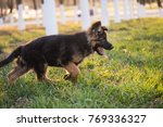 Stock photo the puppy is running on the grass 769336327