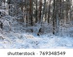 Winter Forest In The Snow....